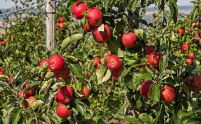 苹果籽有毒吗吃了会死人吗