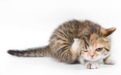 猫一直在家会得猫瘟吗