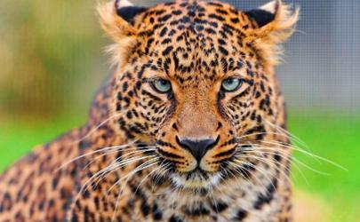 假如你遇到了从动物园出逃的豹子怎么办