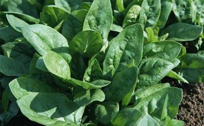 菠菜种植为什么要浸种