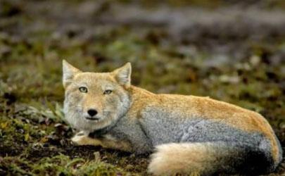 抖音无穷小亮藏狐啥梗什么意思