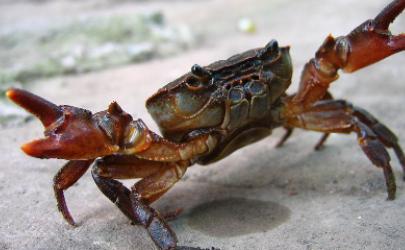 螃蟹和巧克力一起吃会中毒吗
