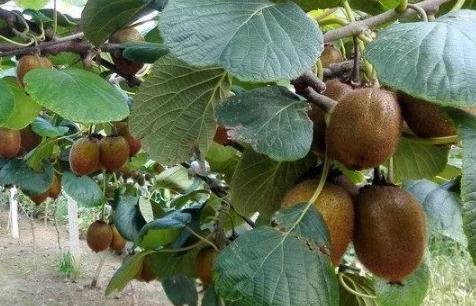 猕猴桃畸形果能吃吗插图2