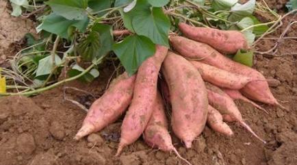 红薯适宜生长在什么土里插图1