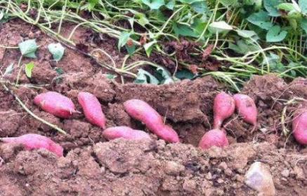 红薯适宜生长在什么土里插图2