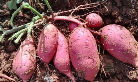 红薯适宜生长在什么土里插图