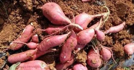 晴天能移栽红薯苗吗插图2
