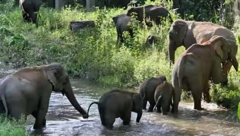 2021云南大象迁徙的原因4