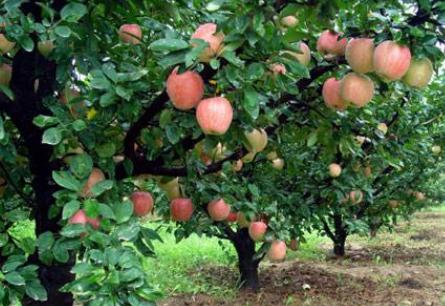 苹果树施肥过浅造成的危害有哪些插图2