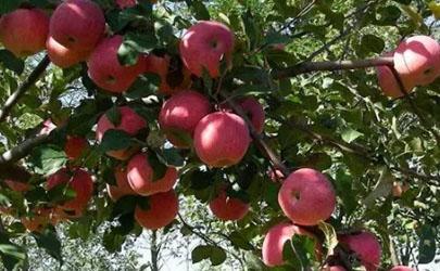 苹果树施肥过浅造成的危害有哪些