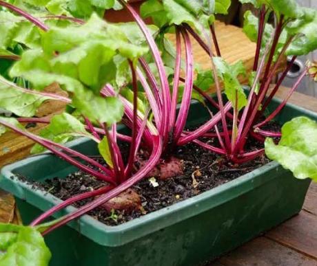 盆栽蔬菜怎么杀虫插图2