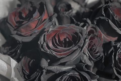 厄瓜多尔黑玫瑰是染色的吗2