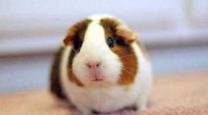 荷兰猪会不会冬眠插图