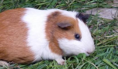 荷兰猪会不会冬眠插图1