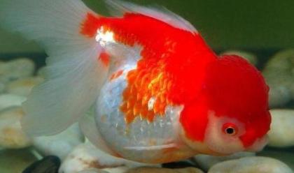 金鱼水温最低多少度插图