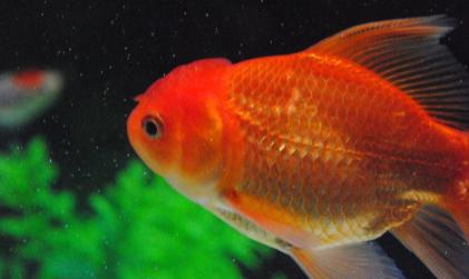 金鱼水温最低多少度插图1