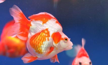 金鱼水温最低多少度插图2