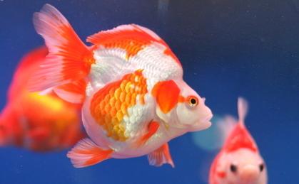 用冷开水养金鱼结果会怎么样插图