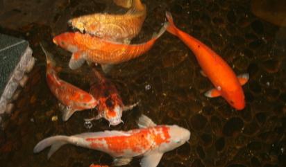 用冷开水养金鱼结果会怎么样插图2