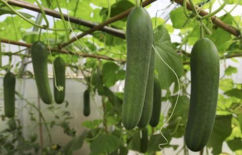 黄瓜养殖与温度有关系吗插图1