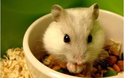 仓鼠吃自己的粑粑会生病吗插图1