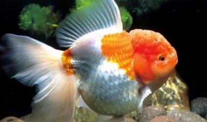 喂金鱼怎么喂养量合适插图1