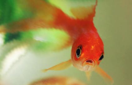 喂金鱼怎么喂养量合适插图2