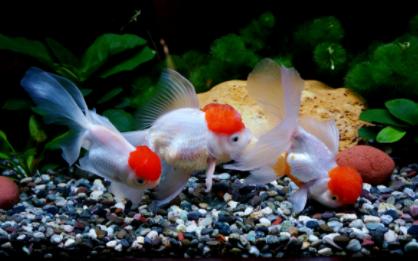 金鱼每天怎么喂食插图