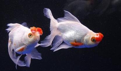金鱼每天怎么喂食插图1