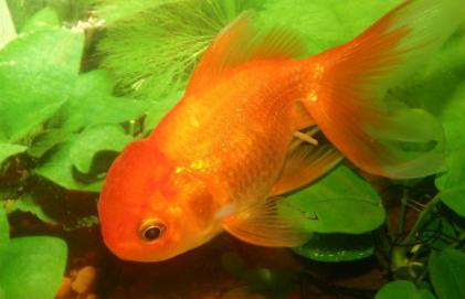 金鱼每天怎么喂食插图2