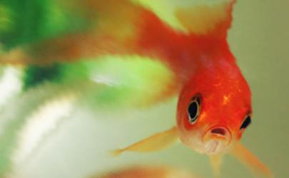 金鱼饿半个月会死吗