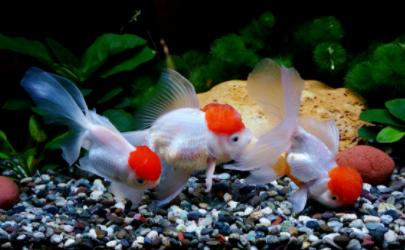 金鱼每天怎么喂食
