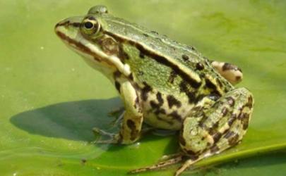青蛙吃什么饲料