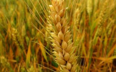 小麦除草什么时候打药合适