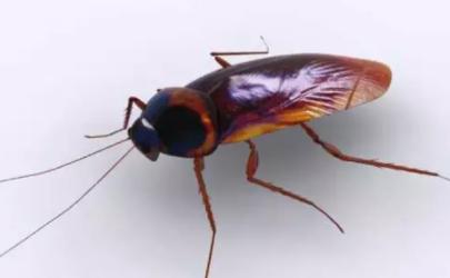 蟑螂卵多久能孵出小蟑螂
