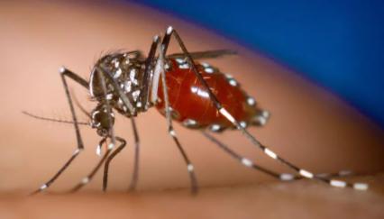 花蚊子为什么咬人厉害插图