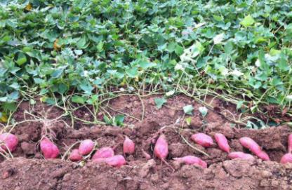 刚挖的红薯要放几天才甜插图