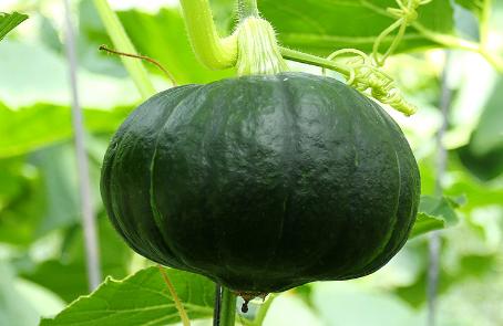 蔬菜发生早衰的原因是什么插图