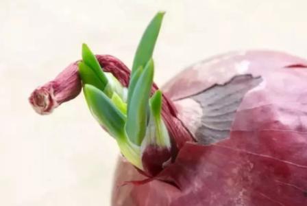 洋葱发的绿芽炒着能吃吗插图