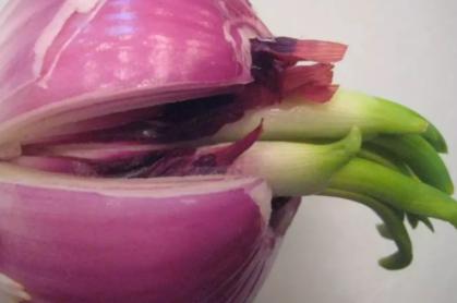 洋葱发的绿芽炒着能吃吗插图2