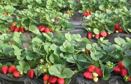 草莓表皮颜色不均匀是打了激素吗插图1
