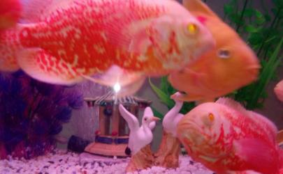 鹦鹉鱼怎么不游上来吃