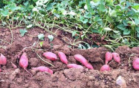 种植红薯怎么判断深栽和浅栽插图2