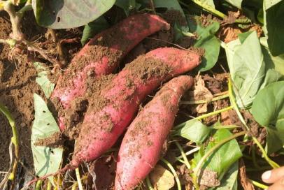 种植红薯怎么判断深栽和浅栽插图1