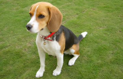小型犬适合吃什么狗粮插图2