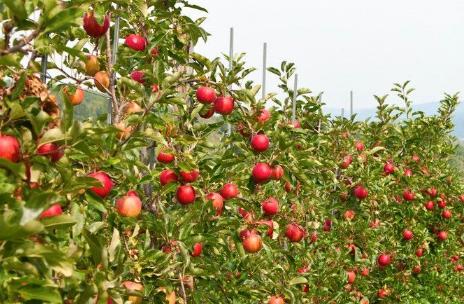 苹果园反光膜啥样的好插图1