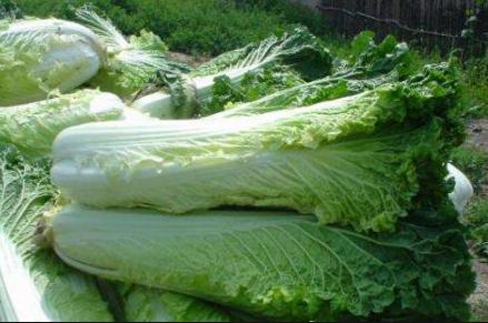 大白菜不包心是种子质量不行吗插图