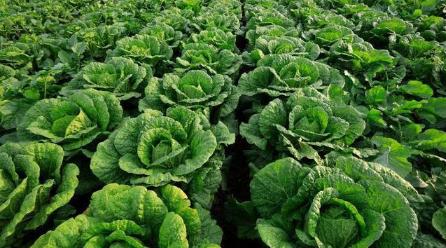 大白菜不包心是种子质量不行吗插图2