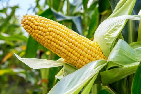 玉米粘虫为何防控效果不佳插图1