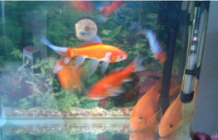 鹦鹉鱼和金鱼会打架吗插图